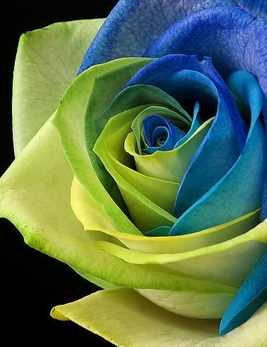 Bunga Mawar Ada Tanpa Kenapa
